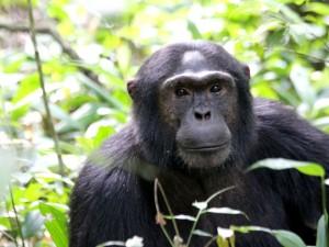 Schimpansen in freier Wildbahn
