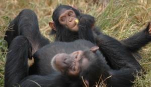 Schimpansen Studie