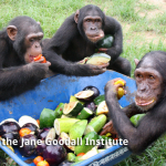 size_550x415_chimps_eaiting_LR_WM